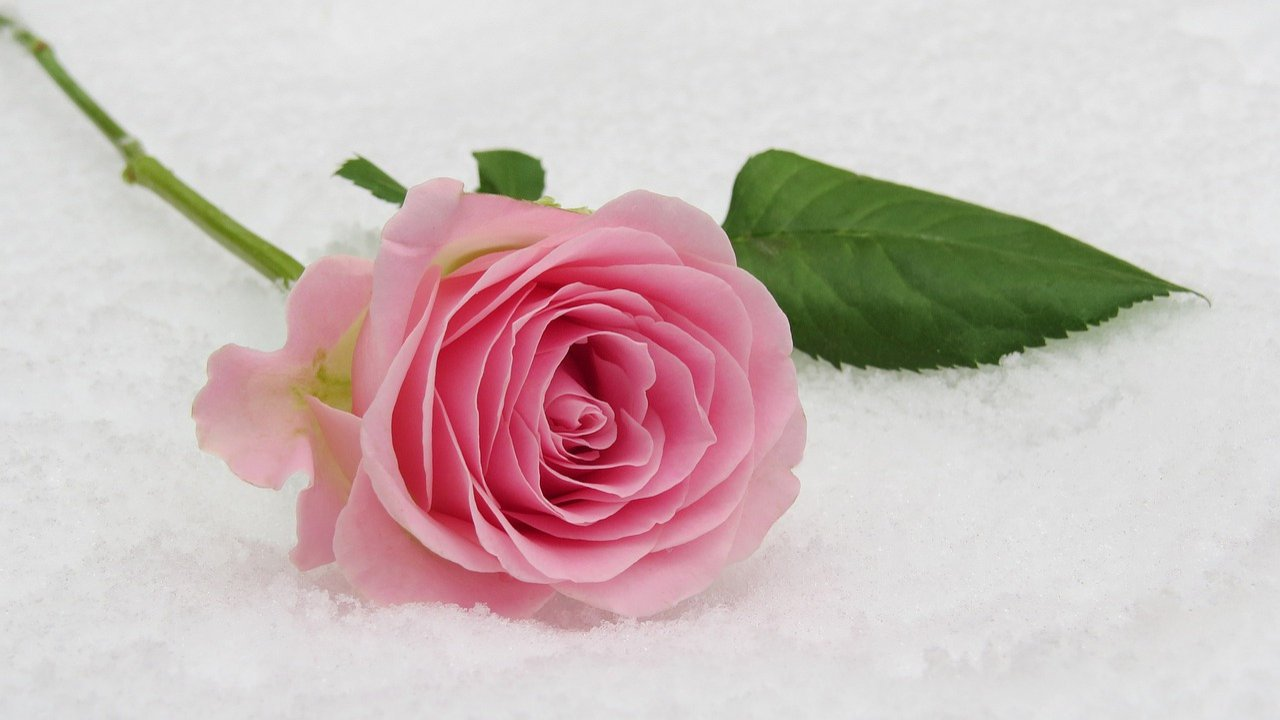 Pink Rose Day Images