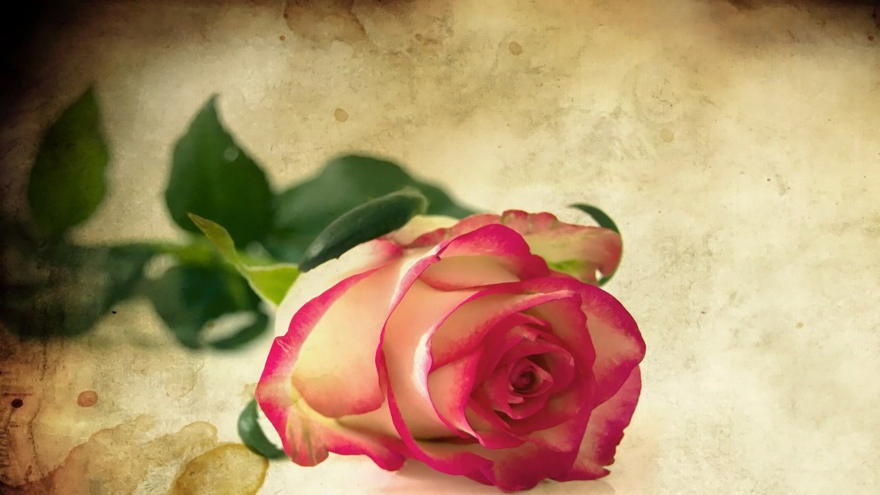Rose Day Images Free Download
