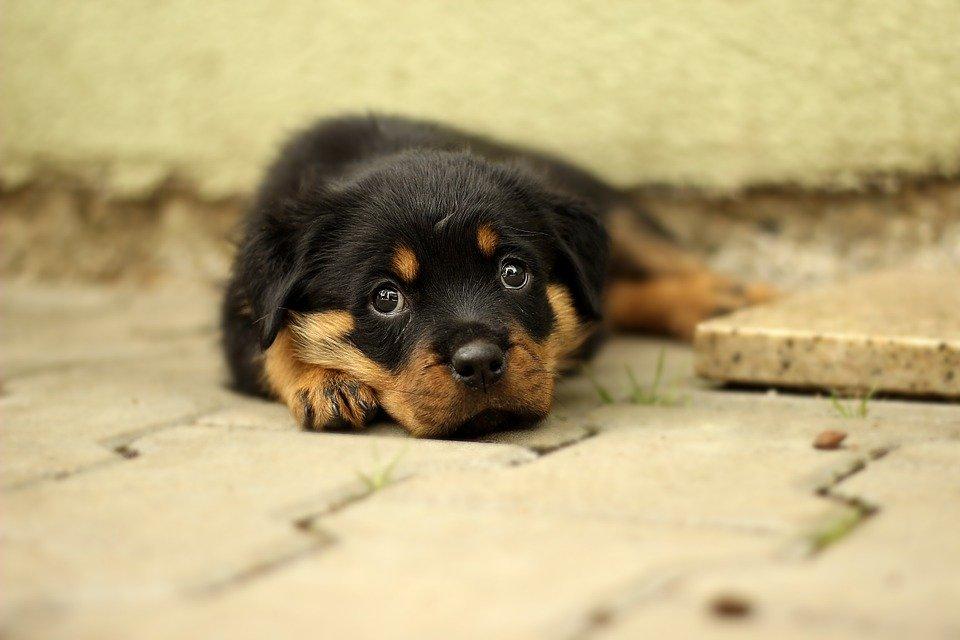 Rottweiler Puppy Dog