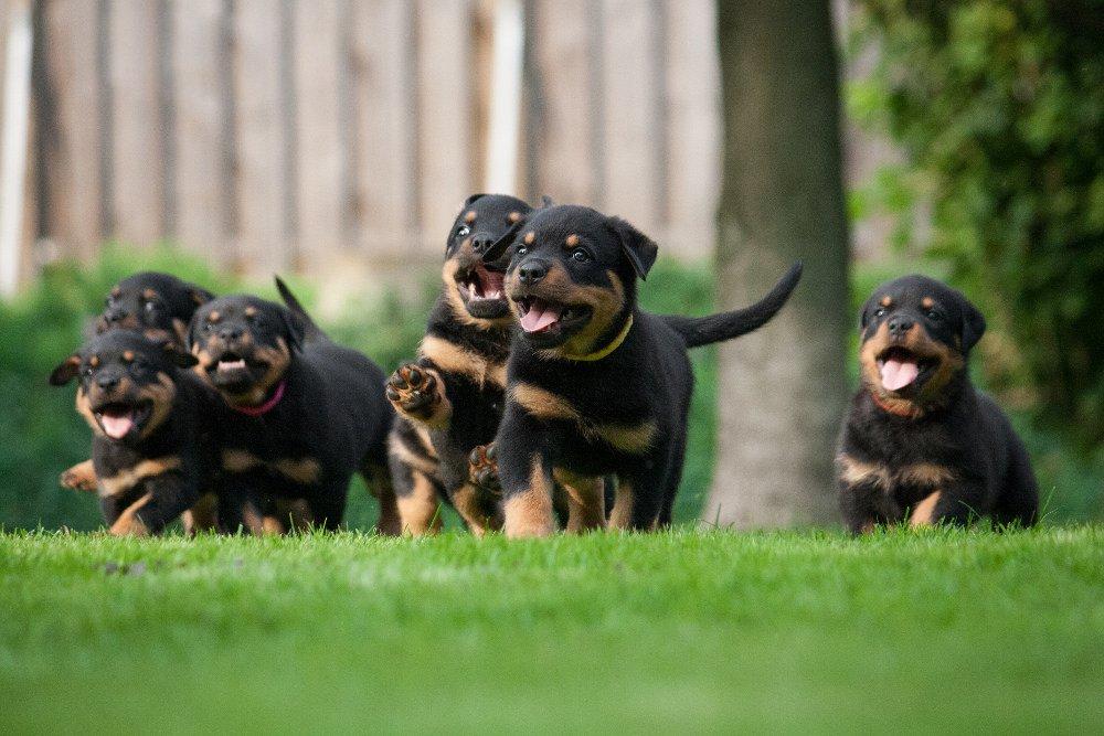 Rottweiler Puppy Dogs