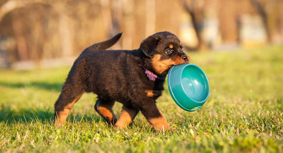 Rottweiler Puppy Pics