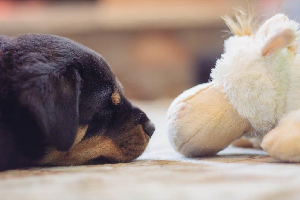 Sad Rottweiler Puppy Pics