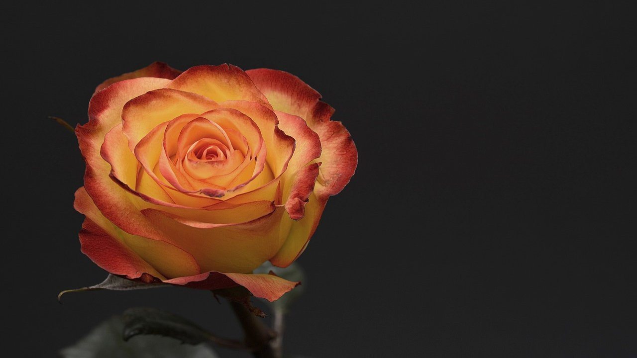 Valentines Day Rose Images