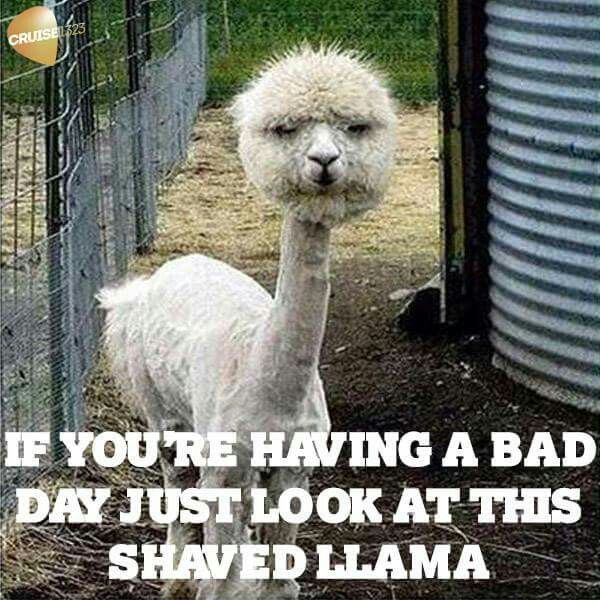 Bad Day Just Look at This Shaved llama Meme