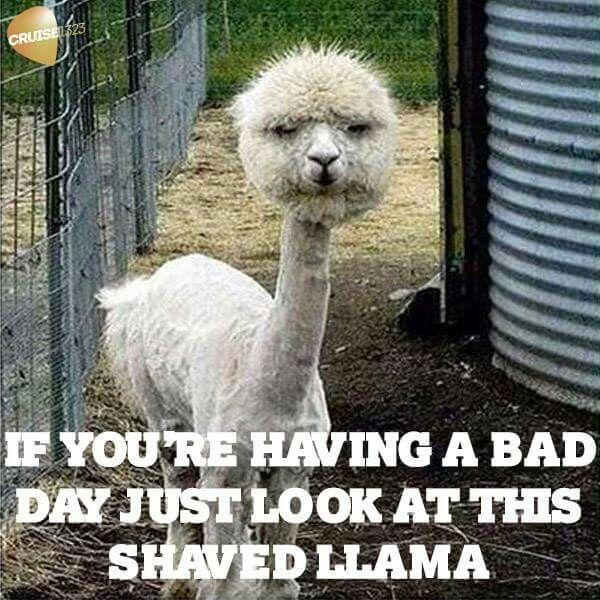 Bad Day Just Look at This Shaved llama Meme