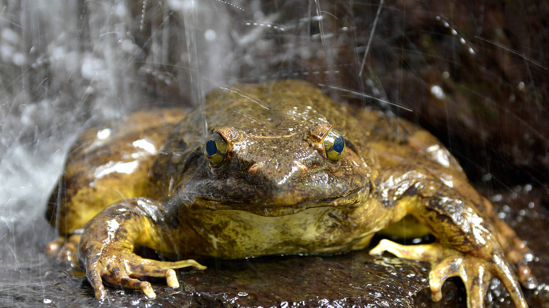 African Goliath Frog