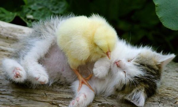 cat and the chick