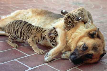 shepherd bengal tiger